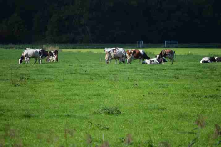 Cows in pasture near Muiden